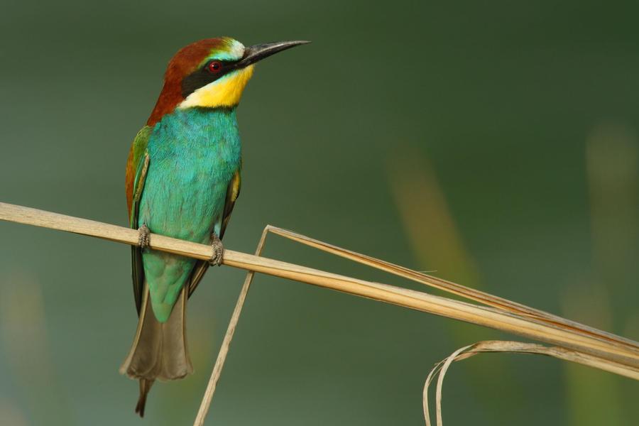 bee-eater by nakitez