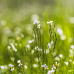 Meadow in May