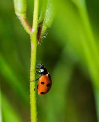 Ladybug on the run