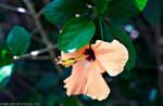 'Hibiscus Heaven'....