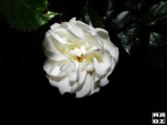 White Rose by MadOfPuppets