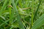 grasshopper-334350 M Scully