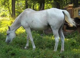 Half Arabian 2 by JuneButterfly-stock