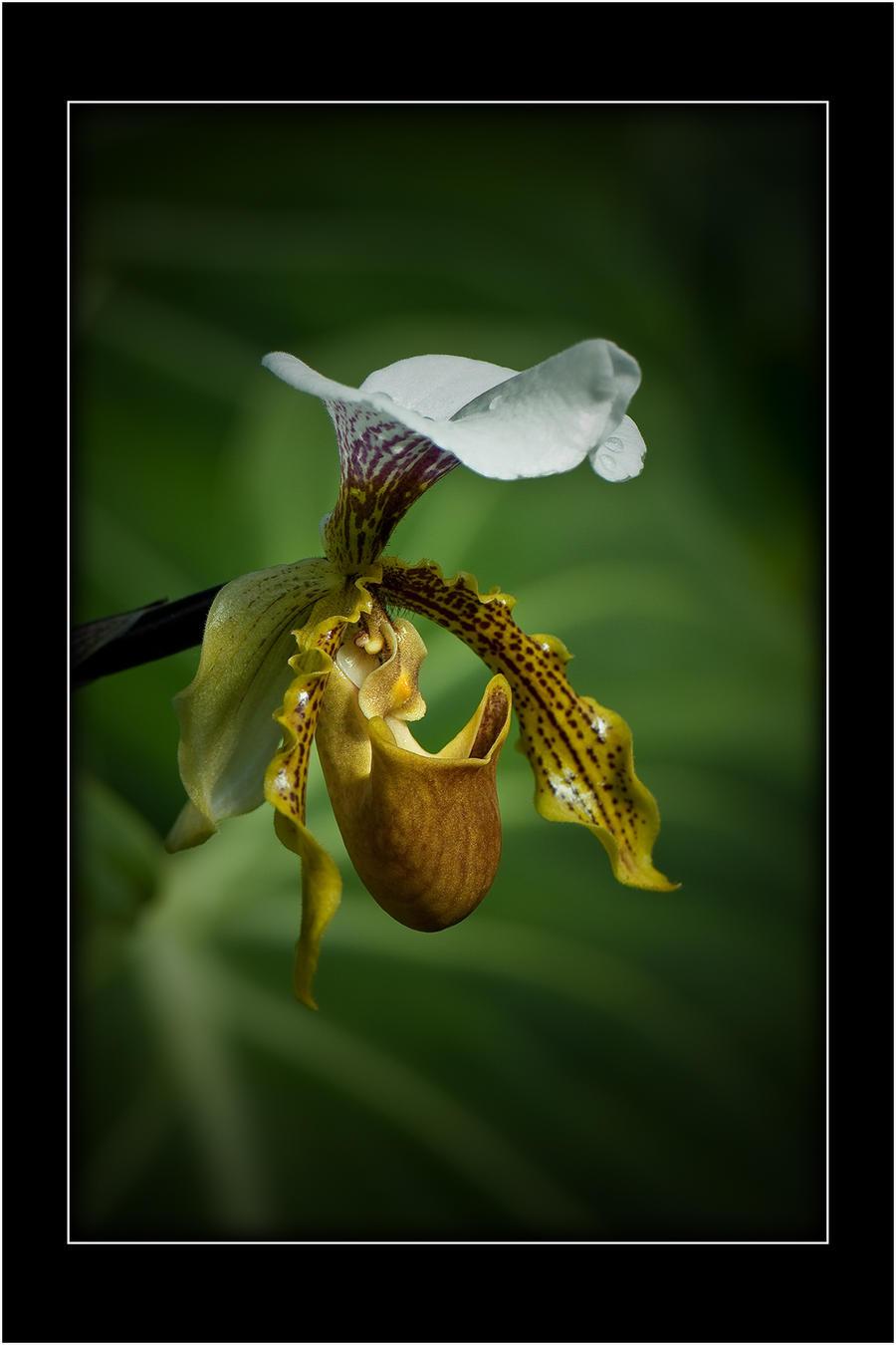 Orchidaceae by Nikonoclaste
