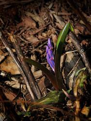 Dulcinea's First spring flower by Nikonoclaste