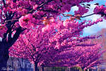 Japanese Cherry tree by T-20-A-20