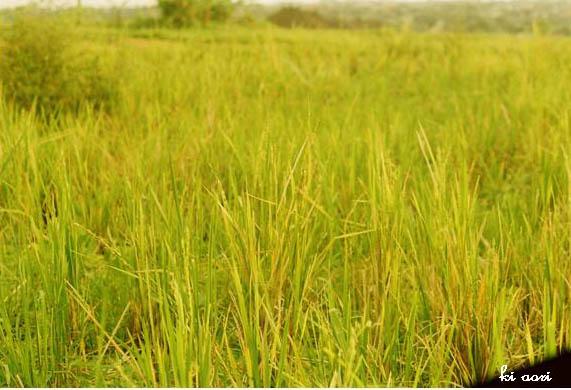 Evening's Ricefield by kiaori