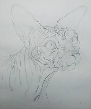 Wrinkly Sphinx