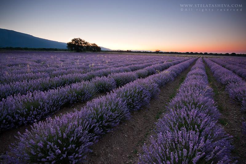 Lavender field by tangratannakra