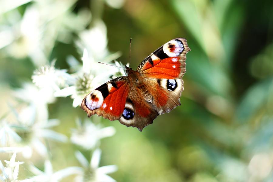 butterfly by redreddaisy