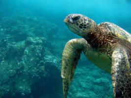 Maui Turtle by Echrei