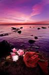 the rose for lovely sunrise..