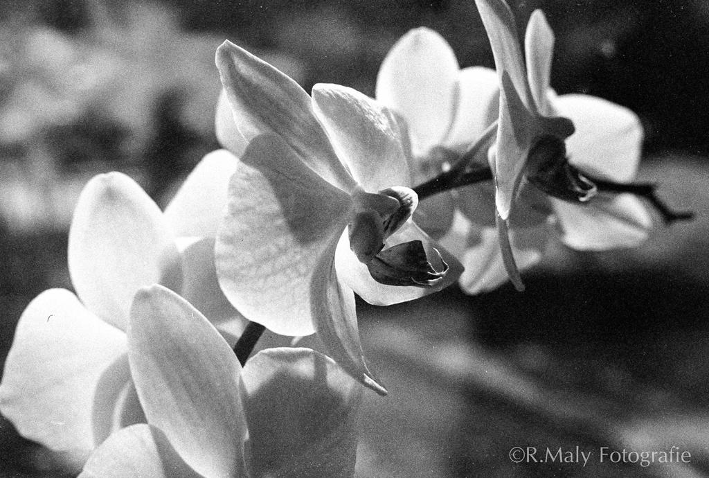 52 shades: no.35. Phalaenopsis by TLO-Photography