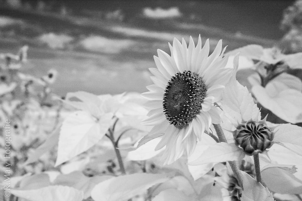 Infrared Sunflower by TLO-Photography