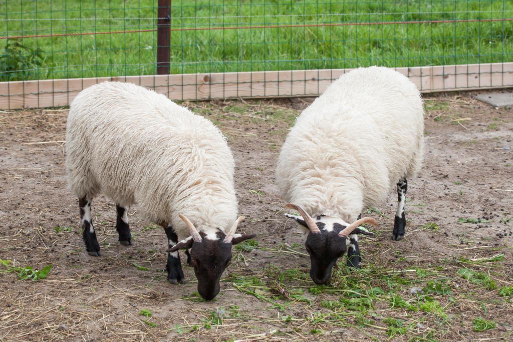Scottish Blackface sheep by TLO-Photography