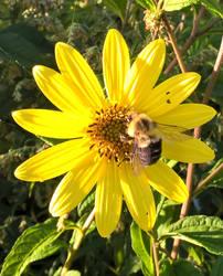 Hungry Bumblebee by almostafaegodmother