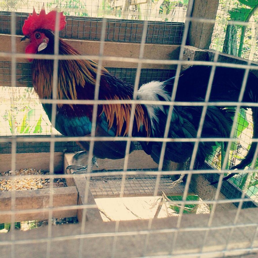 Ayam hutan by yuppie404