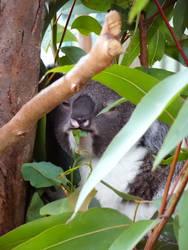 Koala by enteringmymind