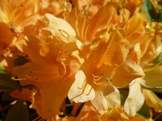 Orange Azalea by Hazelino