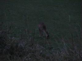 Deer by Rylius