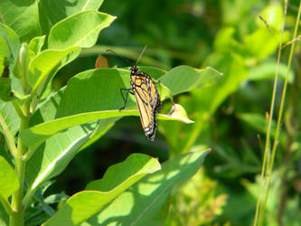 Butterfly resting on a leaf by ljaggard