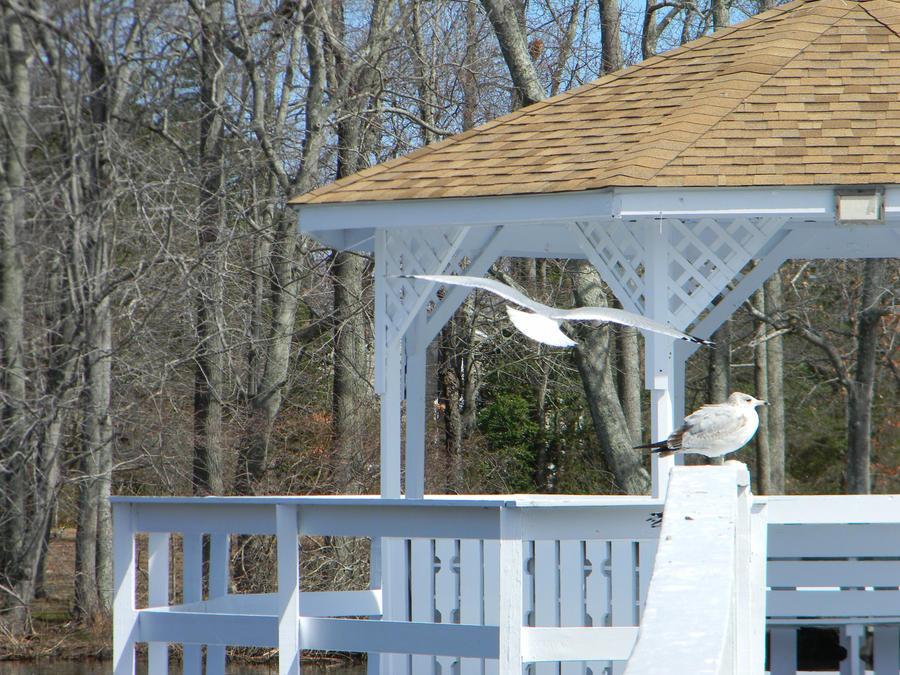 Seagull in Flight by ljaggard