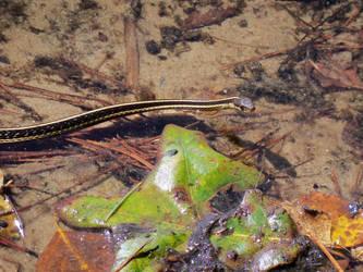 Snake swimming by ljaggard