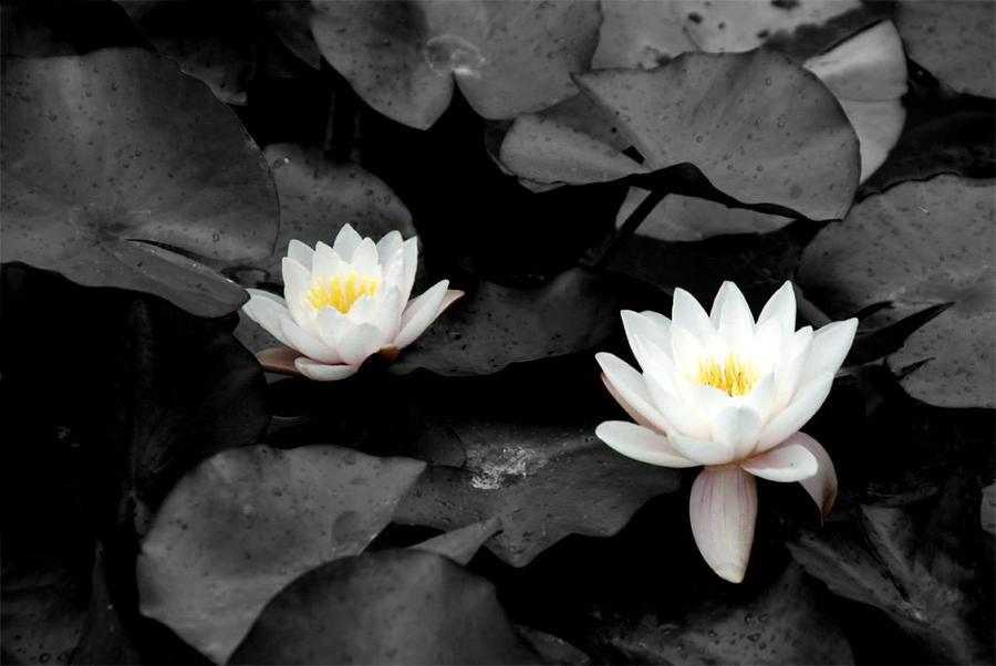 waterrose by Sanyai90