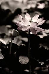 Lotus by 10102668