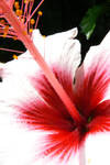 Hibiscus by LaCelta