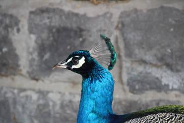 Male Peacock 5