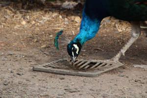 Male Peacock 8