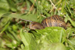 Snail in green grass 3 by Animal-Lover200
