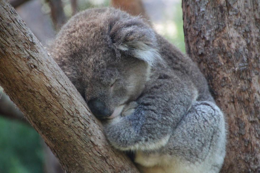 Sleeping Koala Close Up