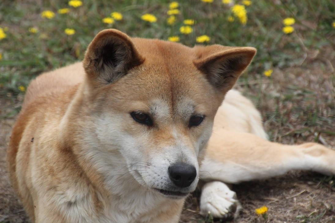 Dingo 3