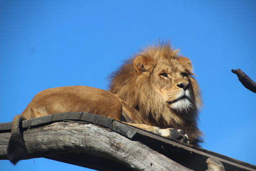 Relaxed Male Lion