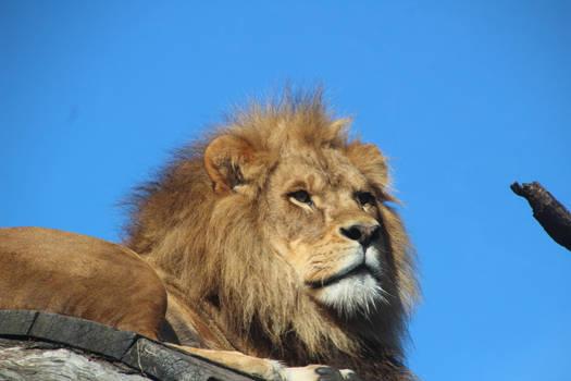 Male Lion Head Close up