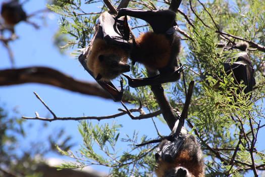 Female Fruit Bat 2