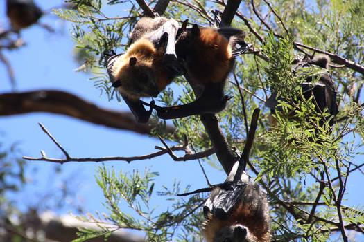 Female Fruit Bat 3
