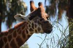 Giraffe Head Close UP 2 by Animal-Lover200