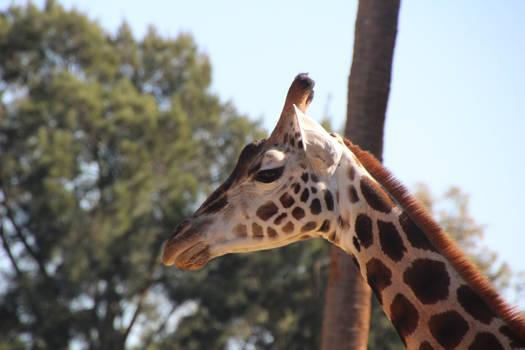 Giraffe Head Close UP 3