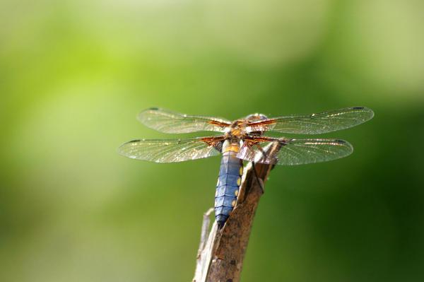 Dragonfly by everythingisaverage