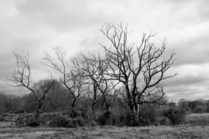 Burnt trees in gorse