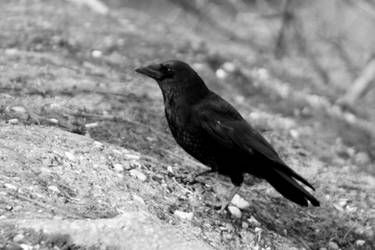 Foraging Crow