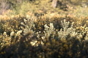 Gorse flowers in dappled sunshine.