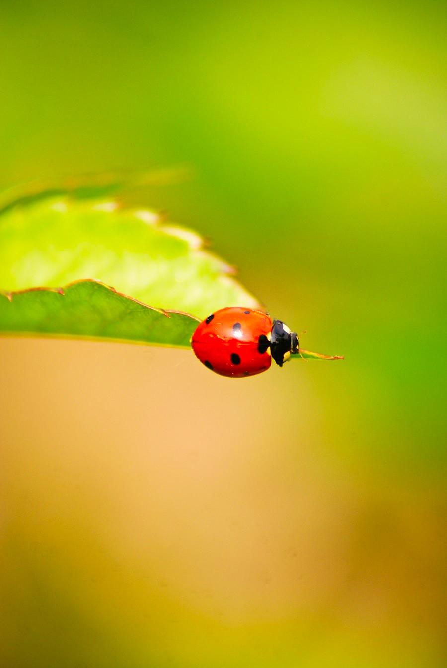 Ladybug by iMalenka
