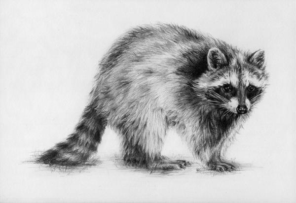 Raccoon by oakleyc on DeviantArt Raccoon Drawing