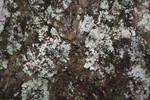 lichen and tree bark