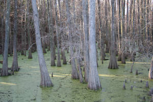 Swampy Cypress 03 by goodiebagstock