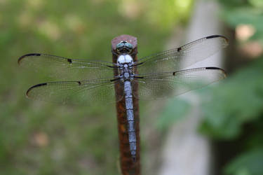 dragonfly by goodiebagstock
